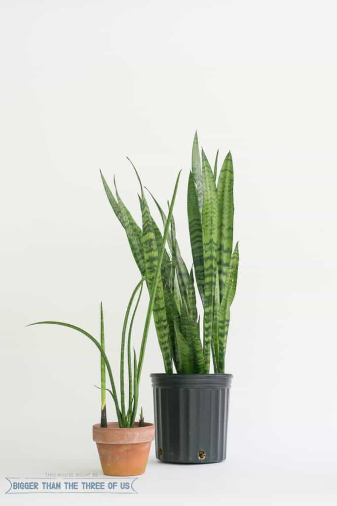 Snake Plant / Mother-in-laws Tongue :: Easy Houseplant and How to Care