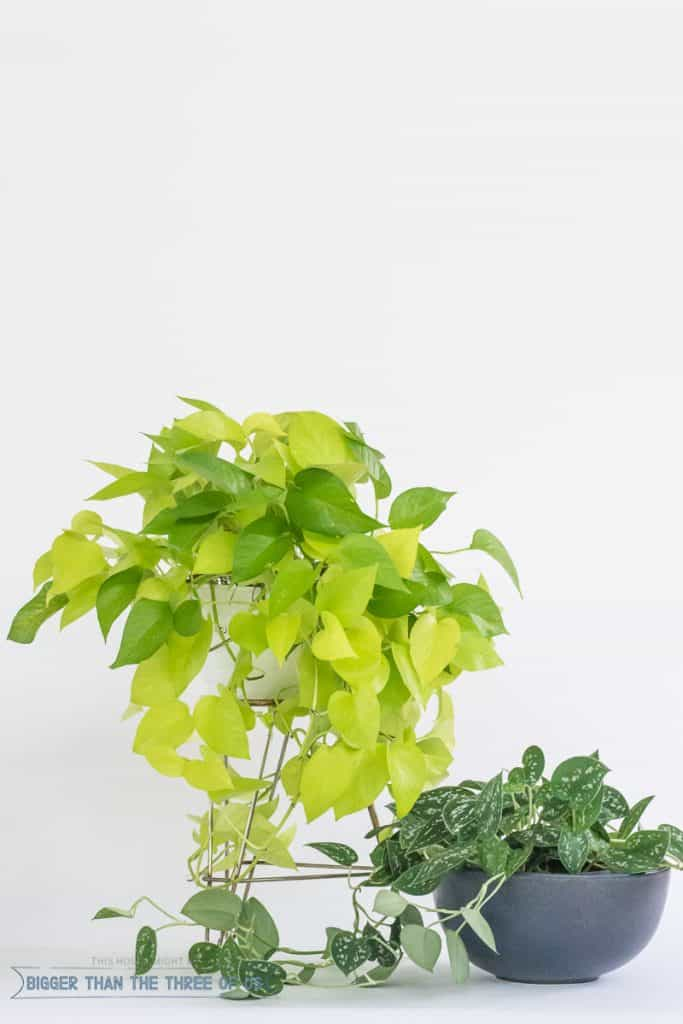 Pothos - Easy Plant to Care For