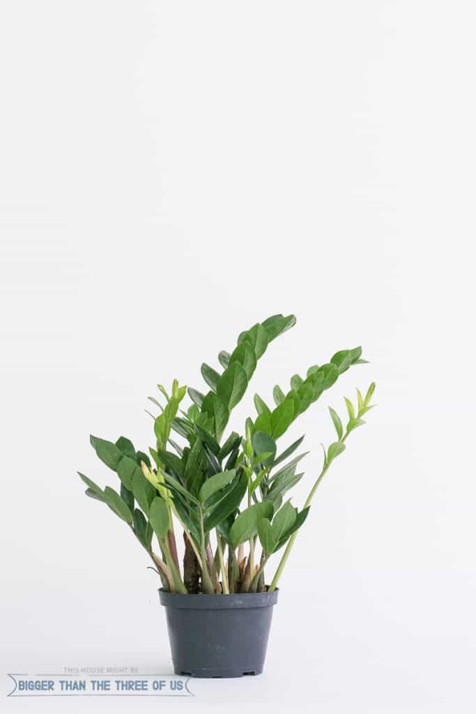 ZZ Plant - Easy Houseplant to Care For
