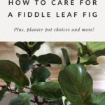 Fiddle tree care tips