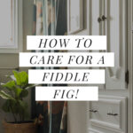 fiddle plant care