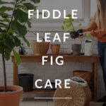 fiddle fig tree care