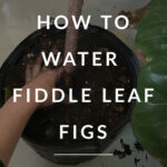 how to water a fig