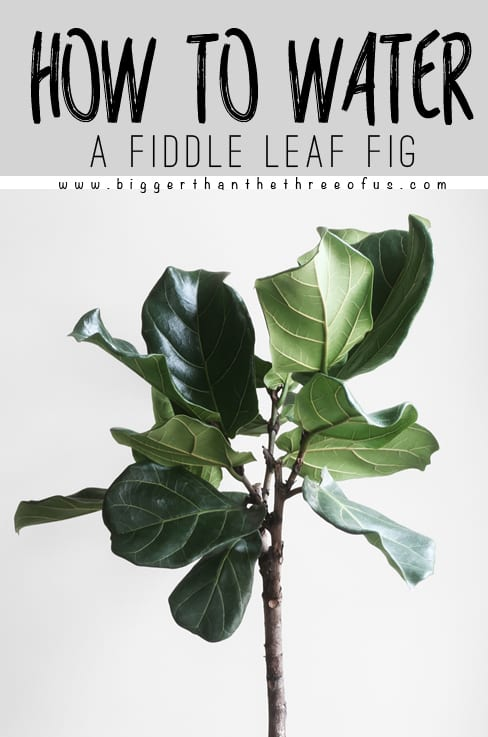 How To Water A Fiddle Leaf Fig