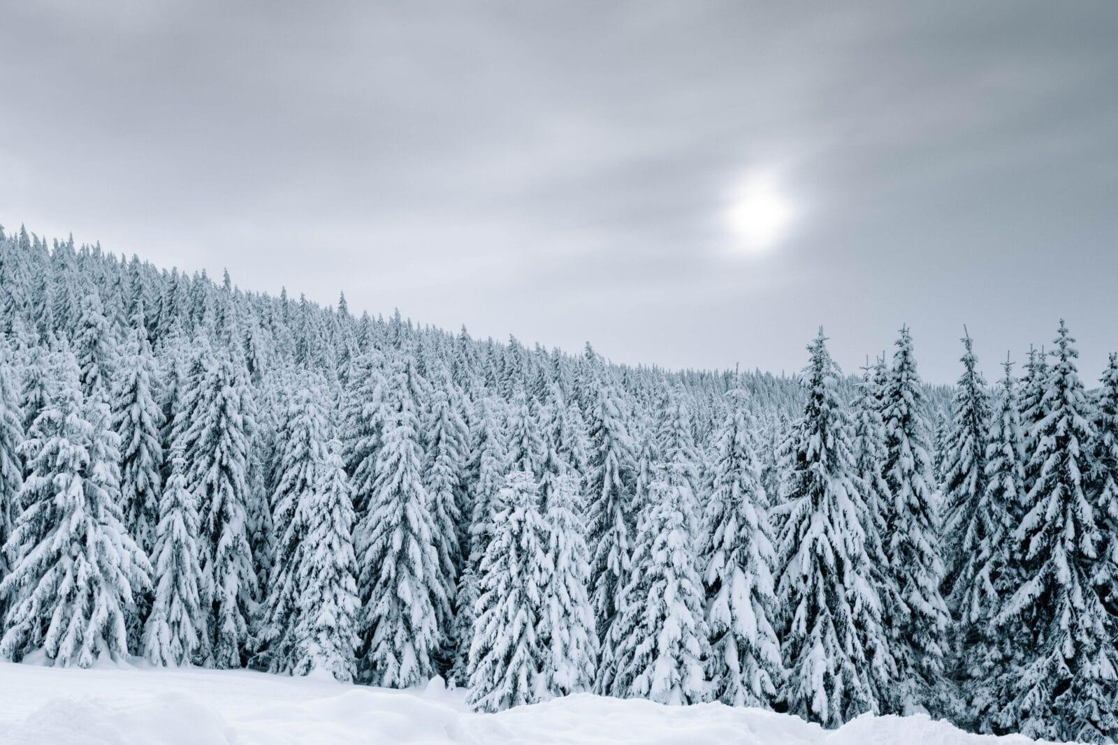 Snowy Treescape