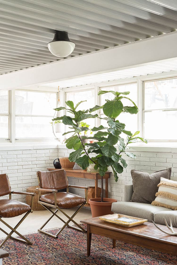 All about light and water for a fiddle fig