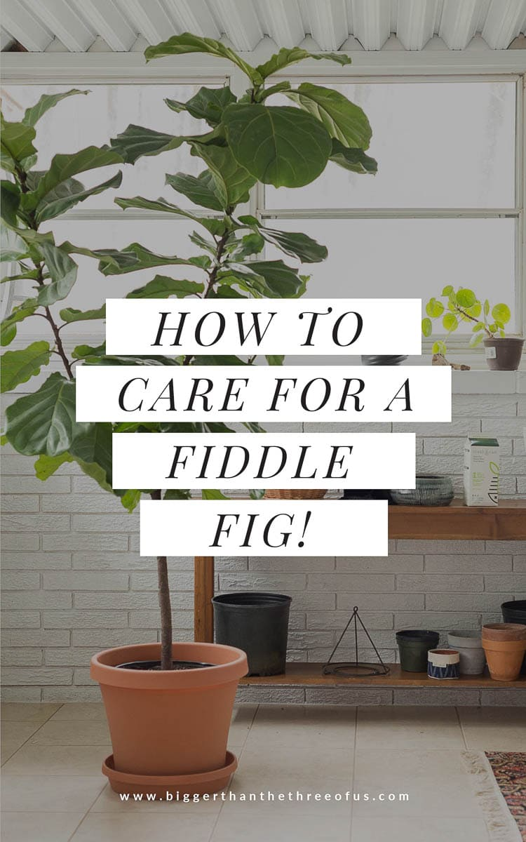 How to Care for a Fiddle Fig